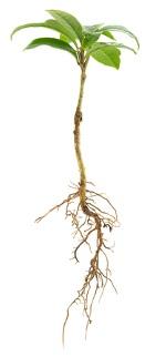 A raiz atua na fixação do vegetal e na absorção de nutrientes