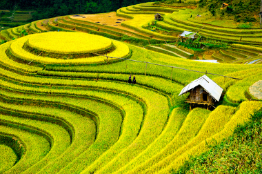 Campos de rizicultura no Vietnã