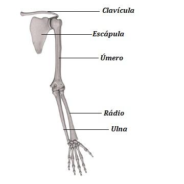 Observe os ossos que compõem os membros superiores