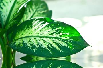 Se ingerida, essa planta causa problemas sérios, uma vez que possui oxalato de cálcio
