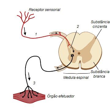 Observe as estruturas envolvidas na resposta medular