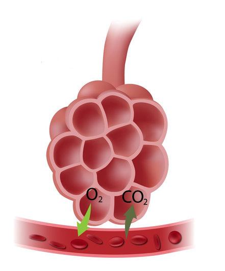 O processo de hematose ocorre nos alvéolos pulmonares