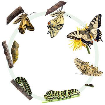 A borboleta durante seu desenvolvimento sofre uma metamorfose completa