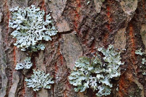 Os líquens são formados por interações entre fungos e cianobactérias ou entre fungos e algas