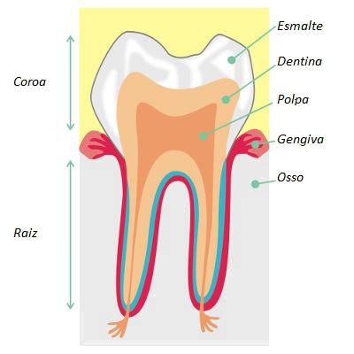 Observe as diferentes partes de um dente
