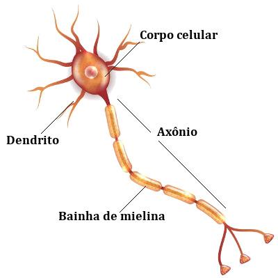 Observe as principais partes de um neurônio