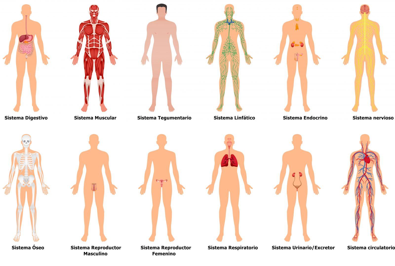 O nosso corpo é formado por vários sistemas