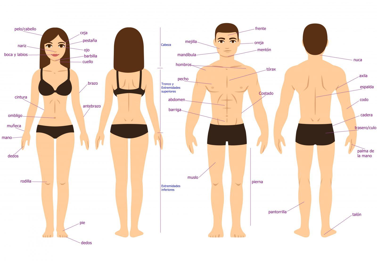 El Cuerpo Humano: Las Partes Del Cuerpo Humano En Español