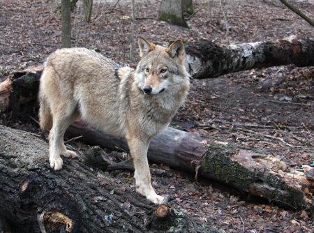 Lobos podem viver cerca de 13 anos
