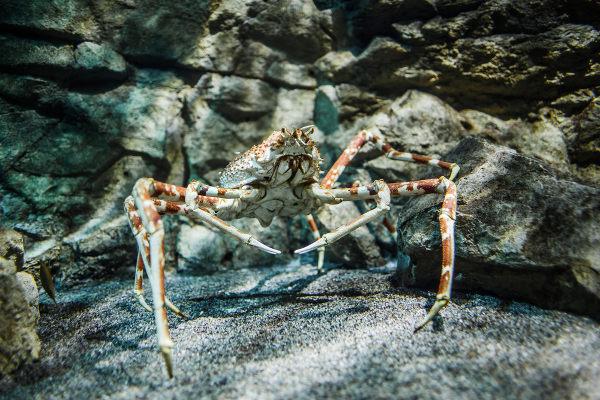 O caranguejo-gigante-japonês apresenta uma envergadura de quatro metros.