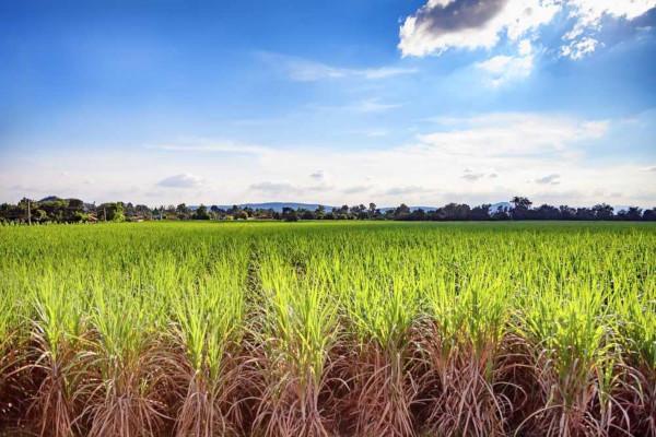 Monocultura de cana-de-açúcar