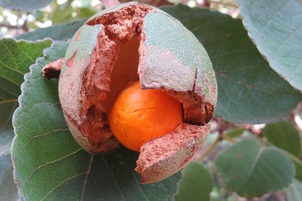 O fruto do pequizeiro pode utilizado na culinária e na fabricação de cosméticos.
