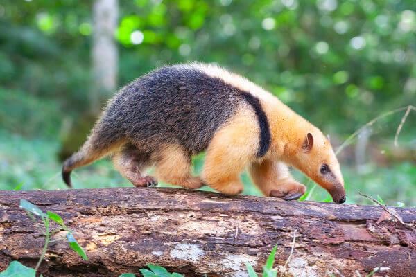 O tamanduá-mirim tem um tamanho bem inferior ao do tamanduá-bandeira.