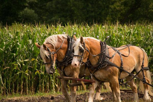 Os cavalos domésticos são utilizados como animais de tração e carga.