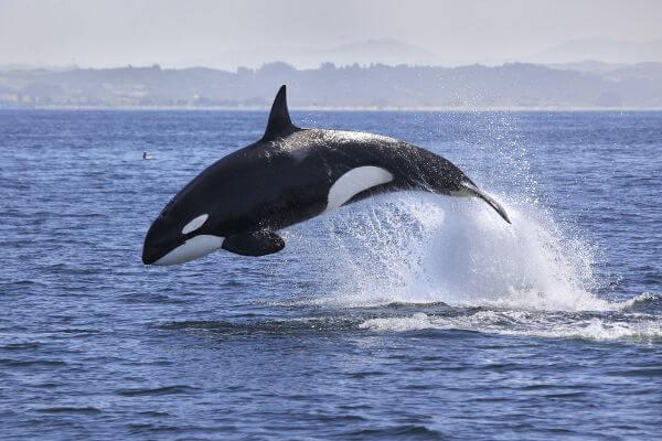 A orca não é uma baleia-verdadeira.