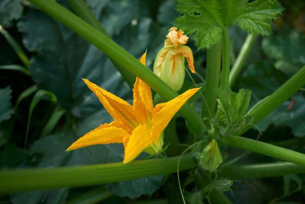 A flor da abobrinha é amarelada e polinizada por abelhas.