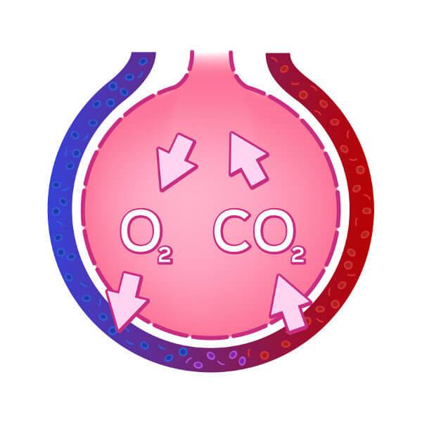 As trocas gasosas acontecem nos alvéolos pulmonares.