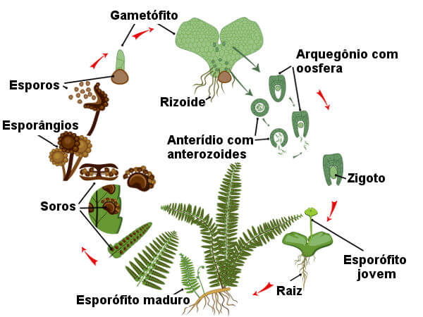 Observe as etapas principais do ciclo de vida das pteridófitas.