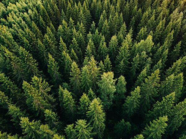 Os pinheiros fazem parte do grupo das coníferas.