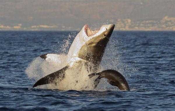 O tubarão-branco ficou famoso após o filme Tubarão, de Steven Spielberg.