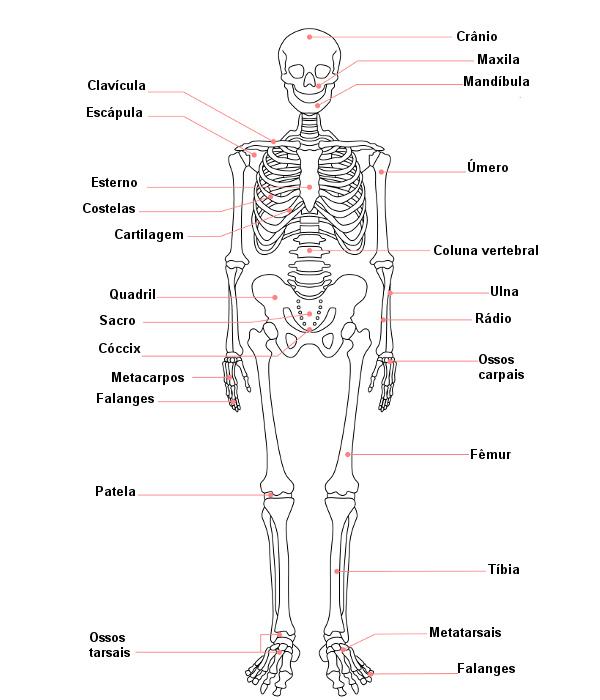 Veja alguns dos principais ossos do corpo humano.