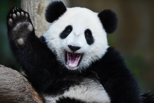 Os ursos pandas são animais atualmente classificados como vulneráveis.