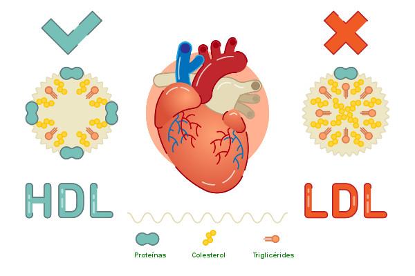 O aumento de LDL está relacionado ao risco de desenvolver-se doenças cardiovasculares, e o aumento do HDL, à proteção contra esse problema.