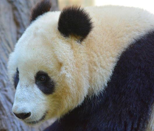 O urso panda é um dos maiores representantes da fauna chinesa.